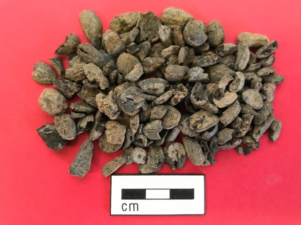 Some of the collected acorns found on site. These may have been a special food, or used in times of need.
